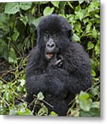 Mountain Gorilla Baby Chewing On Finger Metal Print