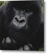 Mountain Gorilla Juvenile Portrait Metal Print