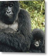 Mountain Gorilla Mother And Baby Metal Print