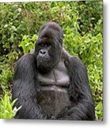 Mountain Gorilla Silverback Metal Print