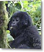 Mountain Gorillas Metal Print