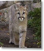 Mountain Lion Cub Walking Metal Print