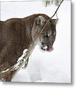 Mountain Lion In A Snow Covered Pine Forest Metal Print