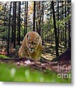 Mountain Lion Stalking Metal Print