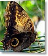 Mournful Owl Butterfly In Sunlight Metal Print