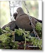 Mourning Dove Feeding Baby Dove Metal Print