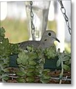 Mourning Dove Nesting Metal Print