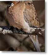 Mourning Dove Pictures 32 Metal Print
