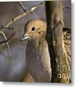 Mourning Dove Pictures 39 Metal Print