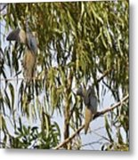 Mourning Doves Landing In Eucalyptus  Metal Print