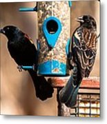 Mr. And Mrs. Red Winged Blackbird Metal Print