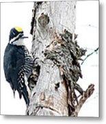 Mr. Black-bscked Woodpecker Metal Print
