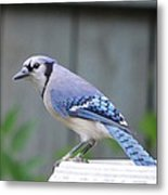 Mr. Bluejay Metal Print by Stefon Marc Brown