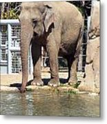 Mr. Elephant Sipping Water Metal Print