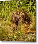 Mr. Porcupine Metal Print by Chris Heitstuman