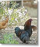 Mr. Rooster Struts Metal Print by Artist and Photographer Laura Wrede