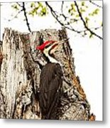 Mr.pileated Poses Metal Print