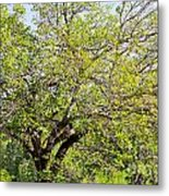 Mulberry Tree Metal Print