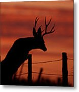 Mule Deer Buck Jumping Fence At Sunset Metal Print