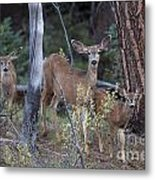Mule Deer Doe With Fawns Metal Print