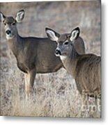 Mule Deer Does Metal Print