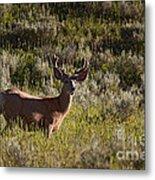 Mule Deer In Velvet   #2114 Metal Print