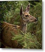 Mule Deer On Alert Metal Print