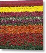 Mult-colored Tulip Field Metal Print