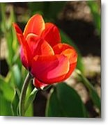Multicolored Tulip Metal Print