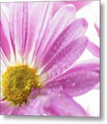 Mums Flowers Against A White Background Metal Print