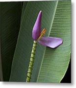 Musa Ornata - Pink Ornamental Banana Flower - Kepaniwai Maui Hawaii  Metal Print