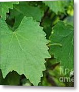 Muscadine Leaves Metal Print
