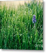 Muscari Or Grape Hyacinth Metal Print
