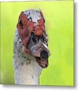 Muscovy Duck Metal Print by Rudy Umans