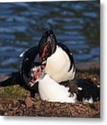 Muscovy Love Metal Print