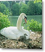 Mute Swan Parent And Chicks On Nest Metal Print by Konrad Wothe