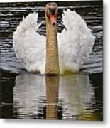 Mute Swan Pictures 141 Metal Print