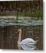 Mute Swan Pictures 143 Metal Print