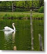 Mute Swan Pictures 195 Metal Print