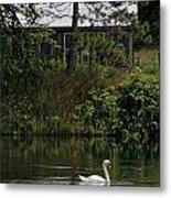 Mute Swan Pictures 199 Metal Print