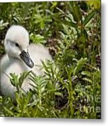 Mute Swan Pictures 210 Metal Print