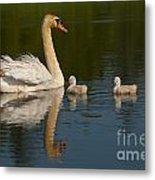 Mute Swan Pictures 244 Metal Print