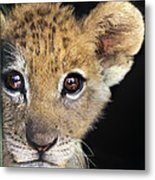 My Grandma What Big Eyes You Have African Lion Cub Wildlife Rescue Metal Print