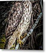 My Hawk Encounter Metal Print