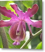 Myrmecophila Orchid Metal Print