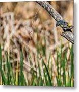Myrtle Warbler Colors Metal Print