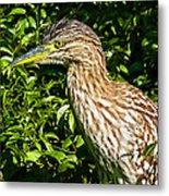 Nankeen Night Heron Metal Print