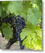 Napa Valley Vineyard Grapes Metal Print by Jennifer Lamanca Kaufman
