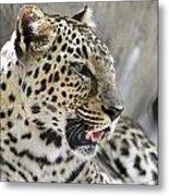 Naples Zoo - Leopard Relaxing 1 Metal Print