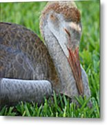 Napping Sandhill Baby Metal Print